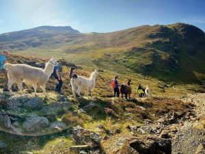 Lake District Alpaca Walk at The Lingholm Estate For Two