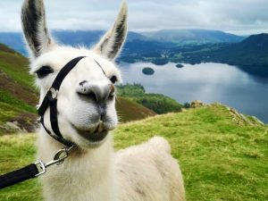 Lake District Walking with Llamas through Newlands Valley – 2 People Walking 1 Llama Each