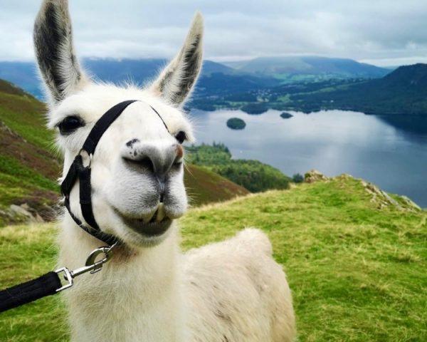 Lake District Llama Trek