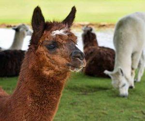 alpaca-2459599_640-min